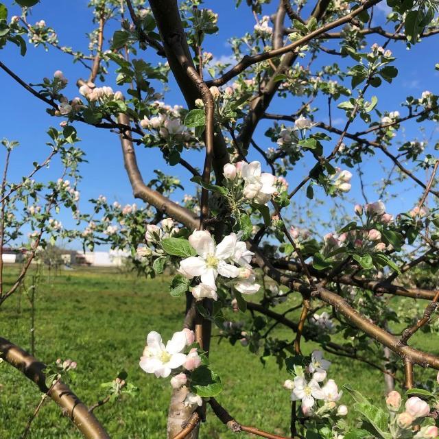 木村先生のリンゴの花