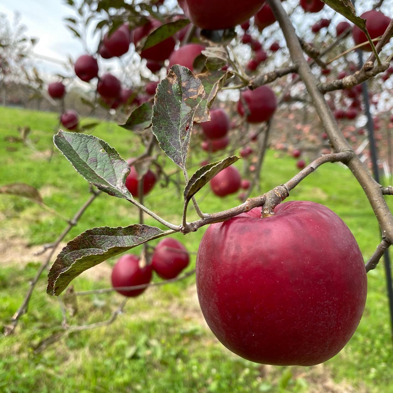 現在のリンゴ